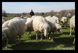 Moutons, Parc de la Caffarella