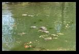 Tortues - Parc de la Villa Borghese